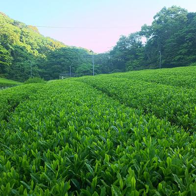 【無農薬栽培】静岡ブランド茶「つゆひかり」100g